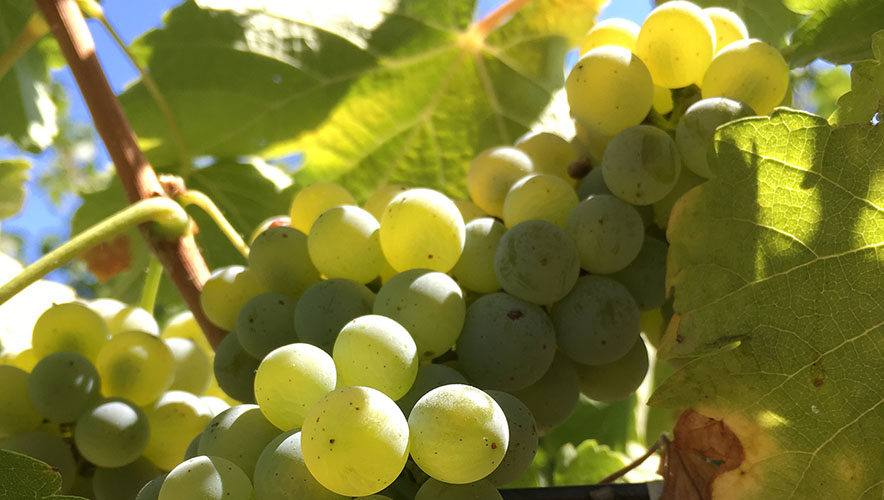 Sauvignon Blanc Grapes with sky in background